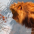 Amazing Male Lion by Jennifer Craft