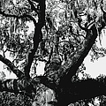 Amazing Oak Tree by Debra Forand
