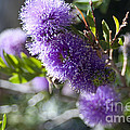 Amazing Purple Melaleuca  by Haleh Mahbod