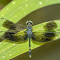 Amazon Dragon Fly by Ramona Murdock