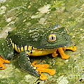 Amazon Leaf Frog by Gregory G Dimijian MD