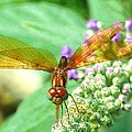 Amber-wing Dragonfly 2 by Nida Chioco