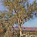 Amboy Shoe Tree By Diana Sainz by Diana Raquel Sainz