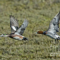 American & Eurasian Wigeons by Anthony Mercieca