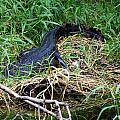 American Alligator 002 by Chris Mercer