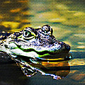 American Alligator 1 by Walter Herrit