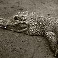 American Alligator by David Millenheft