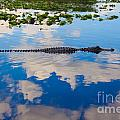 American Alligator Swimming Through The Clouds by Lucy Raos