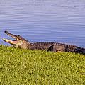 American Alligator by Zina Stromberg