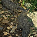 American Alligators by Gary Gingrich Galleries