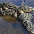 American Alligators In Shallows Florida by Heidi & Hans-Juergen Koch