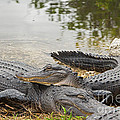 American Alligators by Natural Focal Point Photography
