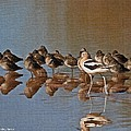 American Avocet And Sleeping Dowitchers by Tom Janca