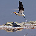 American Avocet by Anthony Mercieca