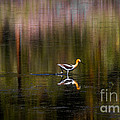American Avocet by Mitch Shindelbower