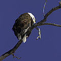 American Bald Eagle 1 by Thomas Young