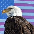American Bald Eagle 2 by James BO  Insogna