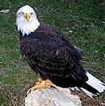 American Bald Eagle 2 by Sheri McLeroy
