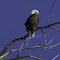 American Bald Eagle 2 by Thomas Young