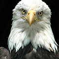 American Bald Eagle 2 by Tina Barrett