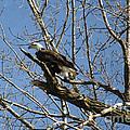 American Bald Eagle In Illinois by Luther Fine Art