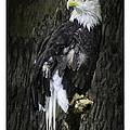 American Bald Eagle by LeeAnn McLaneGoetz McLaneGoetzStudioLLCcom