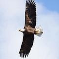American Bald Eagle by Lori Tordsen