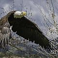 American Bald Eagle by Michael Goodell
