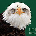 American Bald Eagle On The Look Out by Inspired Nature Photography Fine Art Photography