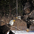 American Bald Eagles by Sharon Fiedler