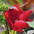 American Beauty --- Hibiscus Coccineus by Byron Varvarigos