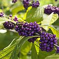 American Beautyberry -callicarpa Americana by Csaba Friss