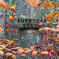 American Beech by Andrew Pacheco