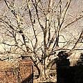 American Beech Tree - Dumbarton Oaks by Julie Grandfield