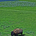 American Bison by Allen Beatty