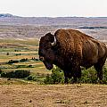 American Bison by Bill Lindsay