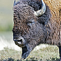 American Bison Closeup by Gary Langley