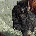 American Bison by Ernie Echols