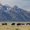 American Bison Herd by Martin Withers