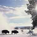 American Bison In Winter by Tim Fitzharris
