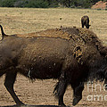American Bison by Lee Roth