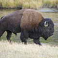 American Bison On The Madison River by Gary Langley