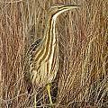 American Bittern by MCM Photography