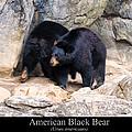 American Black Bear  by Chris Flees