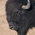 American Buffalo No.2 by John Greco