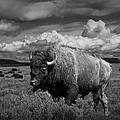 American Buffalo Or Bison In The Grand Teton National Park by Randall Nyhof