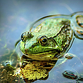 American Bull Frog by Optical Playground By MP Ray