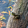 American Bullfrog by William Tanneberger