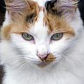 American Calico Cat Portrait by Sally Rockefeller
