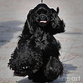 American Cocker Spaniel In Action by Camilla Brattemark